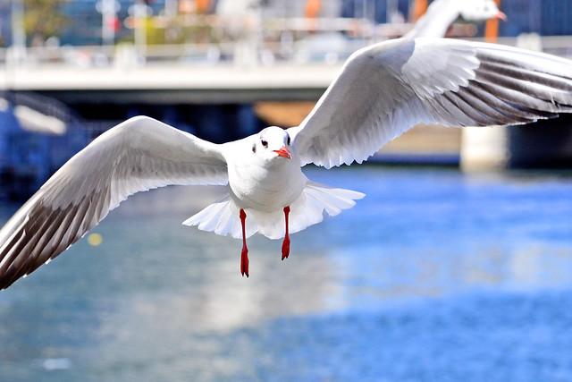 Black-headed Gull of Yokohama Minato Mirai 21 : みなとみらい21のユリカモメ