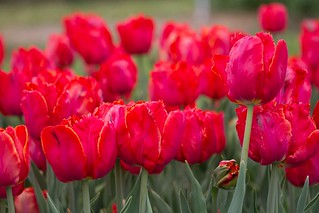 Tulip Time 2014 | by mooshinindy