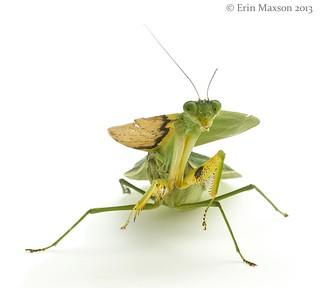 Hooded Mantis 2