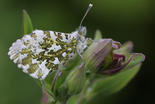 Orange tip butterfly | by CaroleAnnG