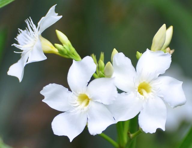 White Oleander,  Nerium oleander L.