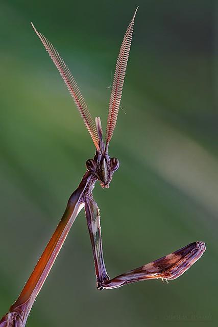 Empusa pennata - Conehead mantis - Empuse commune mâle