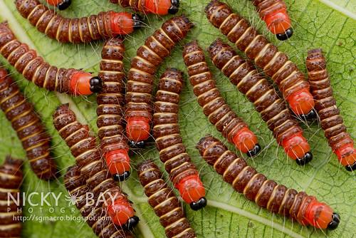 Caterpillars - DSC_2907 | by nickybay