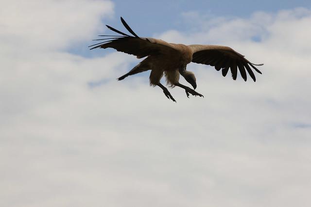 Vulture - Bearing down on a carcass. Maasai Mara, Kenya, 2012