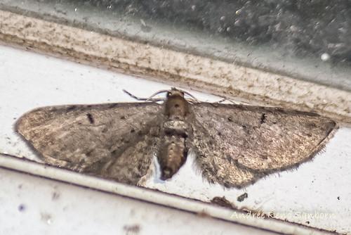 Common Eupithecia - Hodges#7474 (Eupithecia miserulata)