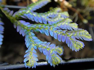 "Selaginella siamensis ""Hieron"""