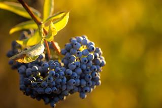 Blue berries at golden hour - Palo Alto Baylands | by hjl