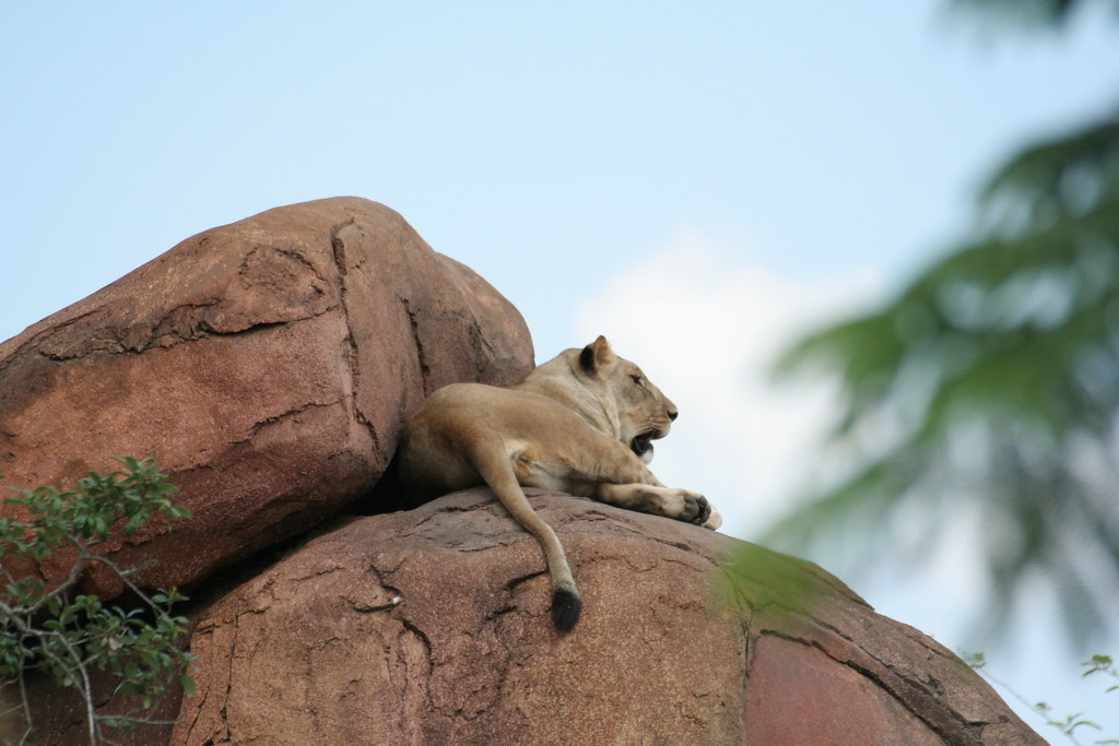 Lioness on Kilimanjaro Safari - Animal Kingdom - Walt Disney World