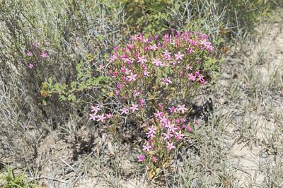 Κενταύριο (Centaurium erythraea)
