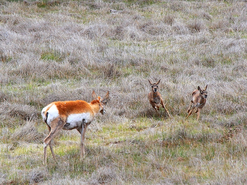IMG_0114 Pronghorn Doe and Fawns, Bryce Canyon National Park