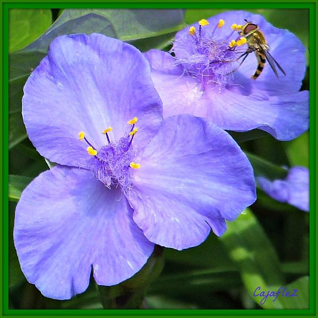 Eendagsbloem - Virginia spiderwort