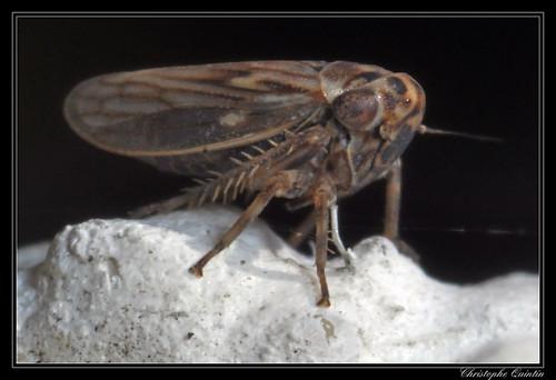 Cicadellidae/Agalliinae