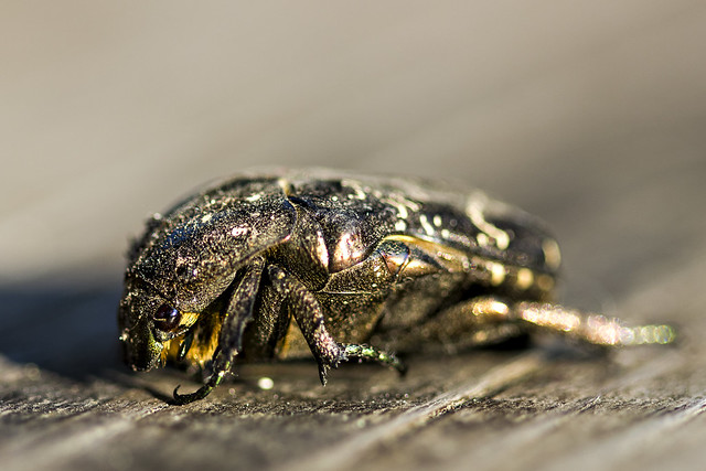Metal Beetle - TNY_2482