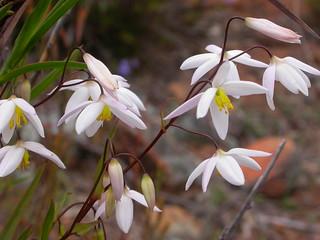 Stypandra glauca Nodding Blue Lily white form DSCN0091