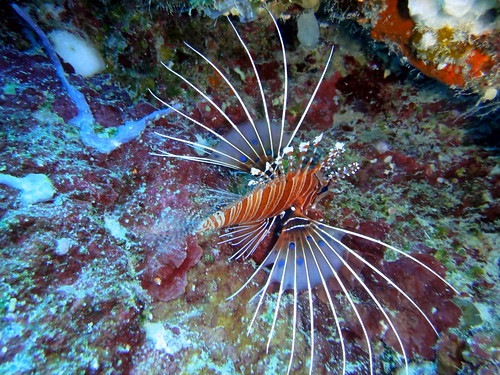 Lionfish on Big Drop Off reef, Palau | by mattk1979