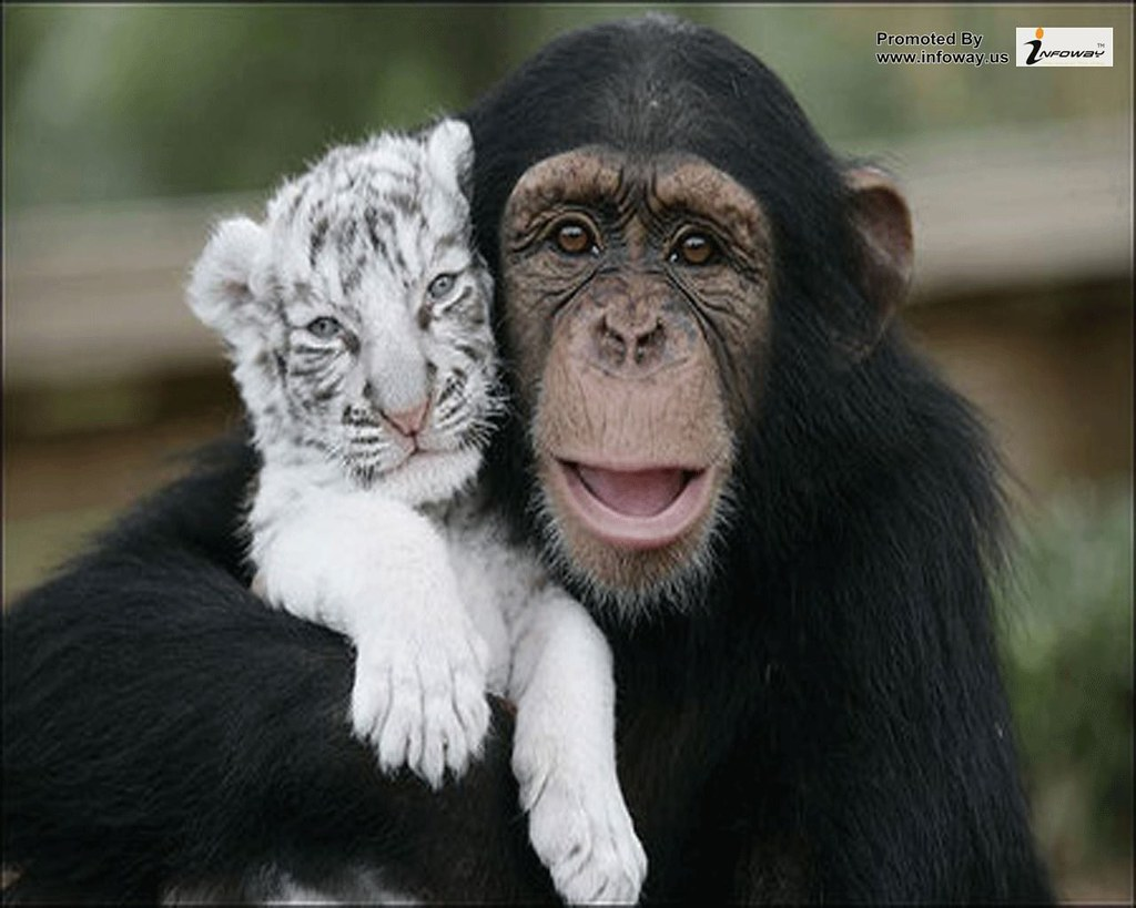monkey with white tiger cub