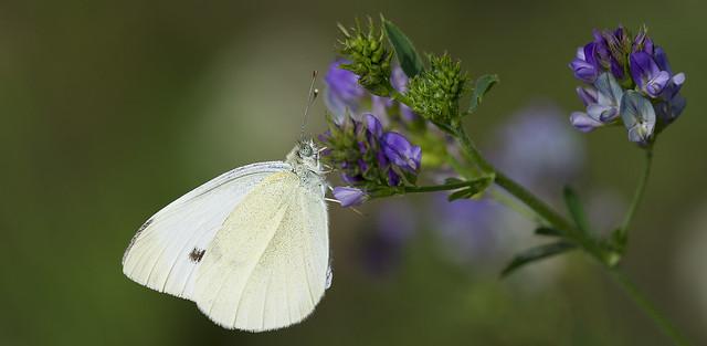 Fiori e farfalle   1