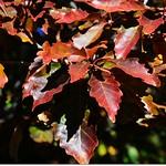 Oak(橡、櫟) in Fall, Chautauqua, Boulder 13
