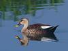 Spot-Billed Duck (Anas poecilorhyncha) by rattan gangadhar