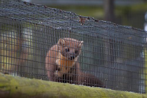 Pine marten in a cage | by Harlequeen
