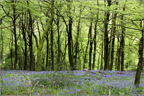 Bluebell Woods | by Capt' Gorgeous