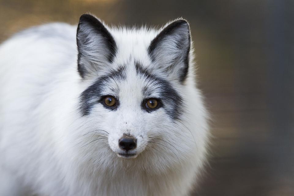 Daphne- The Arctic Fox