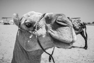 Happy Camel, happy day | by aminefassi
