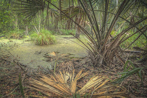 beach nature rain photoshop pond mud florida trail willow hdr fronds fernandina duckweed cabbagepalm fortclinchstatepark