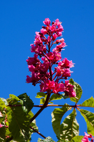 Red:horse chestnut flowers on a sunny morning
