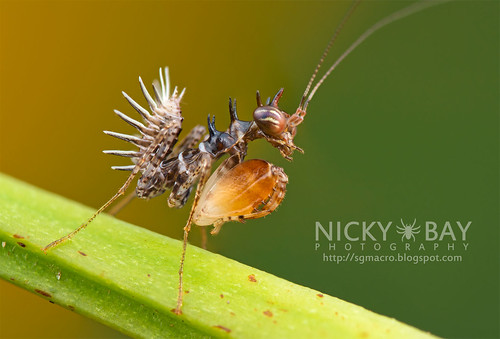 Mantis nymph (Pachymantis bicingulata) - DSC_8047 | by nickybay
