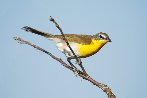 Yellow-breasted Chat | by webgoers