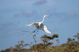 GREAT EGRET #2 | by cuatrok77