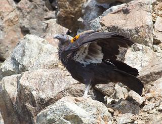 BI131001-269-California Condor - Immature | by lgooch