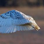 Tue, 03/04/2014 - 8:48am - Snow Owl