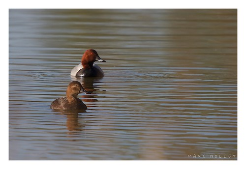 Aythya ferina - Common Pochard | by Marc Nollet