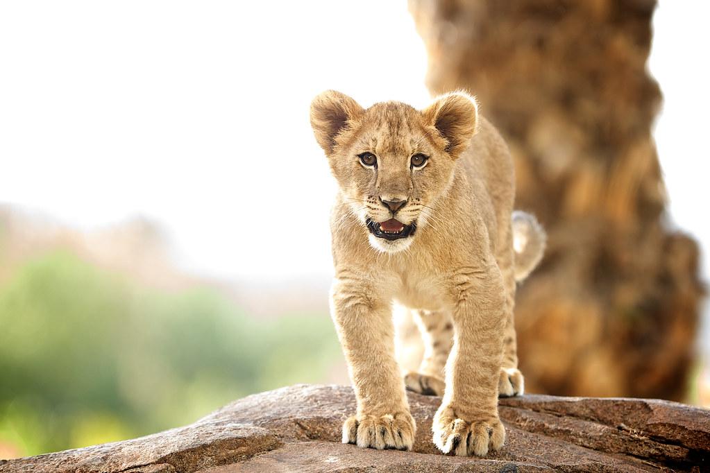 Dixie, female lion cub San Diego Zoo Safari Park | I believe