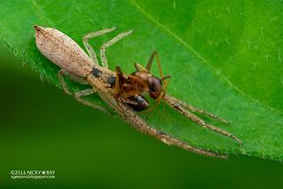 Crab spider (Monaeses sp.) - DSC_3895