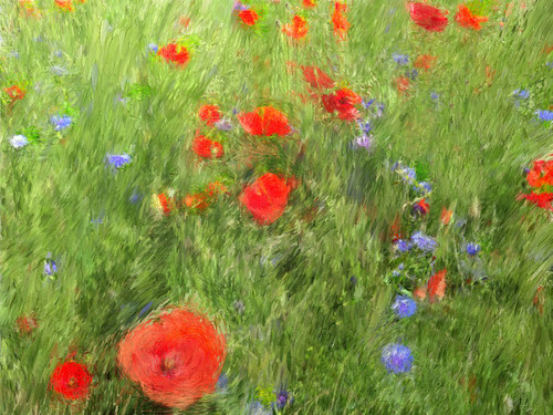 Wild poppies and cornflowers in the photo app Psykopaint