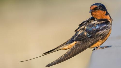 summer portrait bird nature us nikon unitedstates pennsylvania wildlife swallow barnswallow heinz sleek tinicum johnheinznwr sharonhill d7200