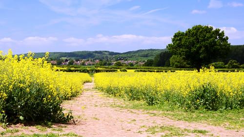 uk england field yellow nikon day somerset rape flax canola bourton nailsea d7000 pwpartlycloudy