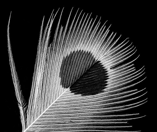 Yellow-shafted Flicker 1, U, Breast feather, black and white Washington DC_2013-07-25-13.25.28 ZS PMax | by Sam Droege