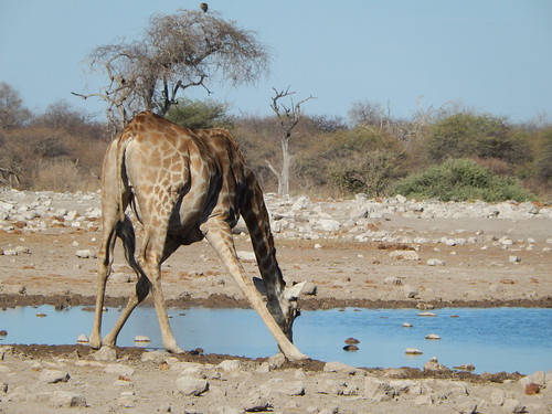 Etosha NP - giraffe kontje