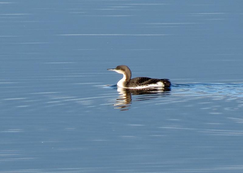 Black-throated Diver - Gavia arctica