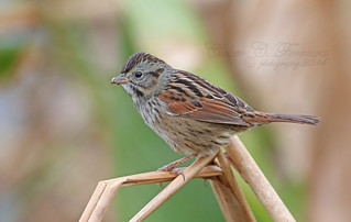 Swamp Sparrow - Melospiza georgiana | by Cleber C. Ferreira