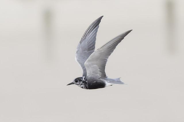 Little Black Tern