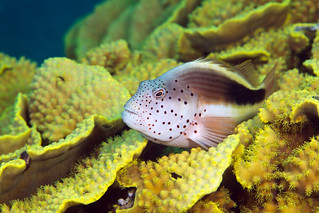 Forsters Hawkfish - Paracirrhites forsteri