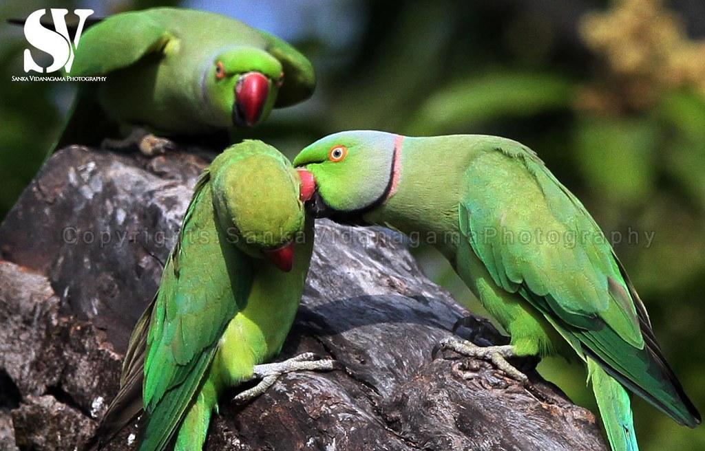 Sri Lanka - Wildlife - Parakeets | Mating ritual of parakeet