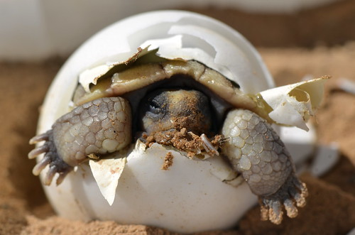 Baby Desert Tortoise | by U.S. Geological Survey