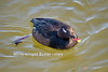 White-winged Scoter (Melanitta fusca) drake - Water Birds of Western NY  - by Adventure George