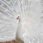 A White Peacok